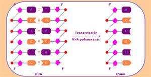 Estructura del ARN (Educarchile)