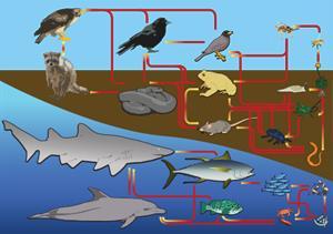 Food Chain. Cadena trófica (Wikimedia Commons)
