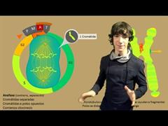 Mitosis Paso a Paso (FlipYourLearning)