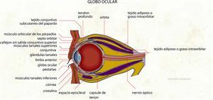 Globo ocular (Diccionario visual)
