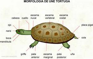 Tortuga (Diccionario visual)