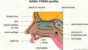 Nasal fossa  (Visual Dictionary)