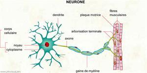 Neurone (Dictionnaire Visuel)