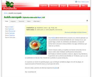 Acalefo encrespado (Cotylorhiza tuberculata)