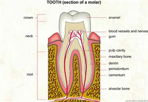 Tooth  (Visual Dictionary)