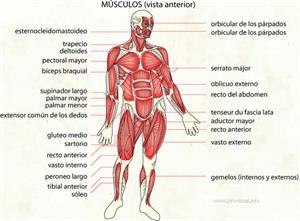 Músculos (Diccionario visual)