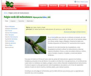 Pulgón verde del melocotonero (Myzus persicae)