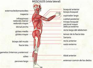 Musculo (Diccionario visual)