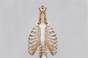 Músculos y huesos. Experimento para niños de 8 a 12 años. (Instrucciones para el profesorado)