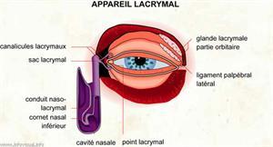 Appareil lacrymal (Dictionnaire Visuel)