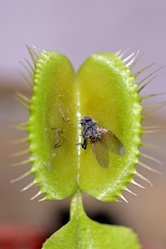 How Do Carnivorous Plants Digest Insects?