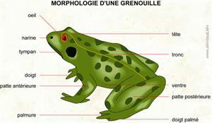 Grenouille (Dictionnaire Visuel)
