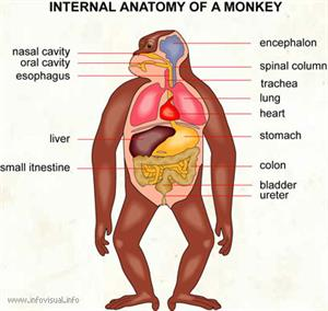 Internal anatomy of a monkey  (Visual Dictionary)