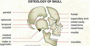 Osteology of skull  (Visual Dictionary)