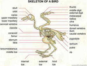Skeleton of a bird  (Visual Dictionary)