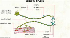 Sensory impulse  (Visual Dictionary)