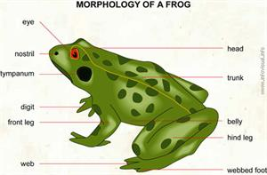 Frog  (Visual Dictionary)