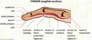 Finger  (Visual Dictionary)