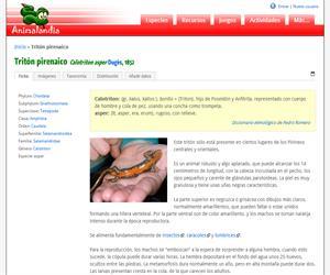Tritón pirenaico (Calotriton asper)