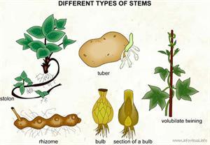 Stems  (Visual Dictionary)