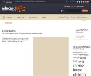 Loica macho (Educarchile)