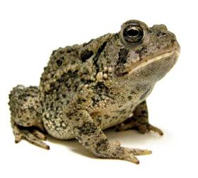 Anfibios: características, clasificación y descripción (Paradais-sphynx.com)