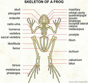Skeleton of a frog  (Visual Dictionary)