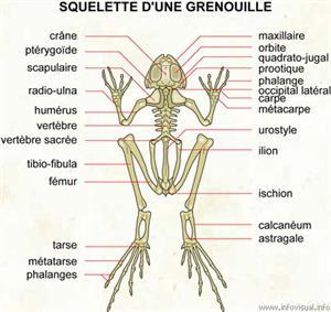 Squelette d'une grenouille (Dictionnaire Visuel)