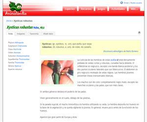 Xysticus robustus (Xysticus robustus)