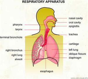 Respiratory apparatus  (Visual Dictionary)