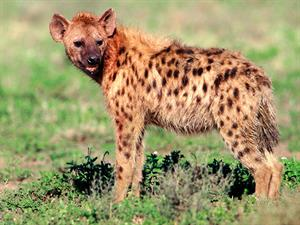 Hyenas and Aardwolves: Fact or Fiction Quiz (Britannica.com)