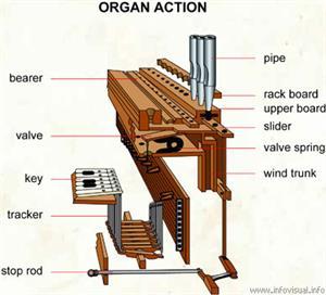 Organ action  (Visual Dictionary)