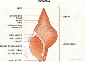 Concha (Diccionario visual)