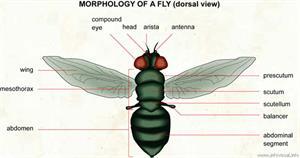Morphology of a fly (dorsal)  (Visual Dictionary)