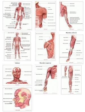 Músculos del cuerpo humano. Saludalia