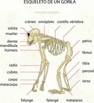 Esqueleto de un gorila (Diccionario visual)