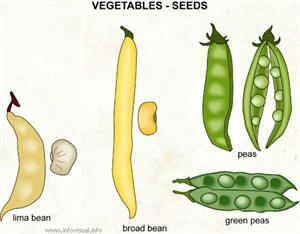 Vegetables - seeds (2)  (Visual Dictionary)