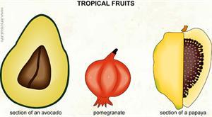Tropical fruits (2)  (Visual Dictionary)