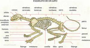 Esqueleto de un gato (Diccionario visual)