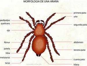 Araña (Diccionario visual)