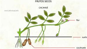 Cacahué (Diccionario visual)