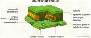 Coupe d'une feuille (Dictionnaire Visuel)