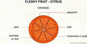 Citrus  (Visual Dictionary)