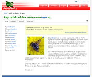Abeja cardadora de lana (Anthidium manicatum )