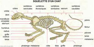Squelette d'un chat (Dictionnaire Visuel)