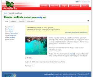 Hidroide ramificado (Sertularella speciosa)