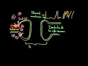 Sinapsis química neuronal (Khan Academy Español)