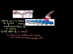Miosina y actina (Khan Academy Español)