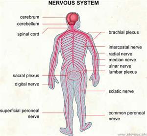 Nervous system  (Visual Dictionary)
