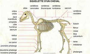 Squelette d'un cheval (Dictionnaire Visuel)